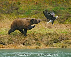 Grizzly Bear Attacks Bald Eagle in Alaska